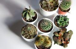 Miscela dei cactus e di altre piante nei vasi bianchi Immagini Stock Libere da Diritti