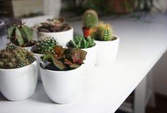 Miscela dei cactus e di altre piante nei vasi bianchi Immagine Stock Libera da Diritti