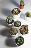 Miscela dei cactus e di altre piante nei vasi bianchi Fotografia Stock