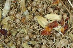 Miscela dei semi del tagete e del wildflower. Fotografia Stock
