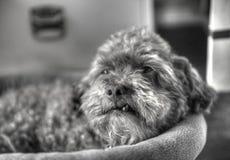 Miscela del barboncino con un dente dello snaggle che si rilassa in un letto del cane immagini stock libere da diritti