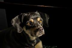 Miscela del Coonhound Fotografia Stock