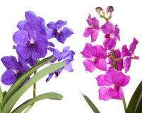 Miscela del fiore di Vanda delle orchidee Fotografia Stock