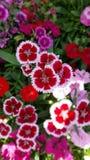 Miscela della stella del Dianthus Immagine Stock Libera da Diritti
