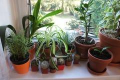 Miscela delle piante da appartamento sulla finestra Immagini Stock