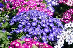 Miscela nana di Multiflora di Cineraria fotografia stock libera da diritti