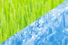 Miscelazione del collage del campo di grano verde in primavera e del campo nell'inverno Fotografia Stock