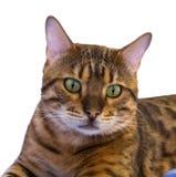 Misch-Bengal-Katze Stockbild