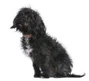 Misch-züchten Sie Hund, 10 Monate alte und sitzen Stockbild