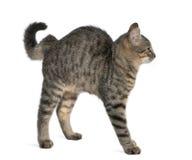 Misch-züchten Sie Katze, Felis catus, 6 Monate alte Lizenzfreie Stockfotos
