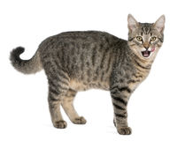 Misch-züchten Sie Katze, Felis catus, 6 Monate alte Stockfoto