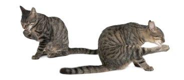 Misch-züchten Sie Katzen, Felis catus, 6 Monate alte Stockfoto