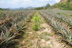 Mischbearbeitungs-Gummibaum mit Ananas (Ananas comosus) lizenzfreie stockfotografie