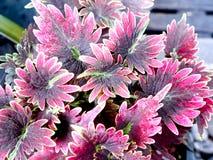 Mischblumeneinsiedler, genannt Pappel Stockfotografie