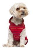 Mischbruthund mit einem Yorkshire-Terrier Stockfotografie