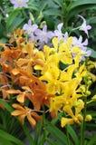 Mischfarben von Orchideen Stockfotografie