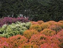 Mischheide pflanzt das Blühen gegen eine grüne Hecke stockfotografie