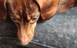 Mischhund, der auf menschlichen Beinen sich entspannt Stockfoto