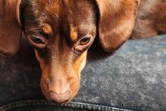 Mischhund, der auf menschlichen Beinen sich entspannt Lizenzfreie Stockbilder