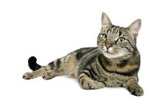 Mischievious Moggy. Moggy cat on white background, mischeivious look on his face Stock Images