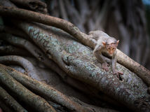 Mischieviously aufpassender Baby-Makaken Stockbilder