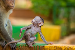 Mischieviously aufpassender Mützen-Makaken Stockfoto