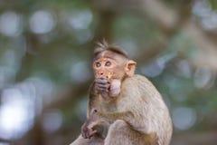 Mischieviously aufpassender Mützen-Makaken Stockbild