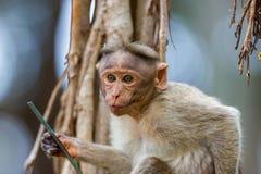 Mischieviously aufpassender Mützen-Makaken Lizenzfreies Stockfoto