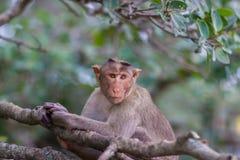 Mischieviously aufpassender Mützen-Makaken Stockbilder