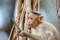 Mischieviously aufpassender Mützen-Makaken Lizenzfreie Stockfotografie