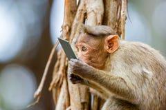 Mischieviously aufpassender Mützen-Makaken Lizenzfreie Stockbilder