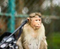 Mischieviously aufpassender Mützen-Makaken Stockfotografie