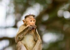 Mischieviously aufpassender Mützen-Makaken Lizenzfreies Stockbild