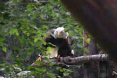 Mischievous Alaskan Eagle royalty free stock image