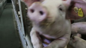Mischievous hog. On modern farms for breeding pigs,video clip stock video footage