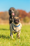 Mischievous Pug being chased Stock Images
