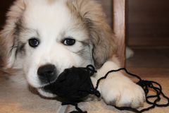 Mischievous Puppy with Ball of Yarn Royalty Free Stock Photos