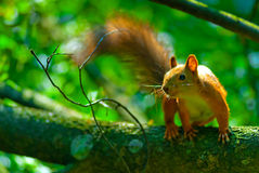Mischievous red squirrel on  tree branch Stock Photos