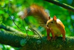 Mischievous red squirrel on  tree branch Stock Photos