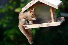 Mischievous squirrel stock images