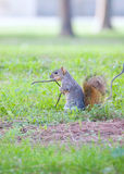 Mischievous squirrel Stock Photography