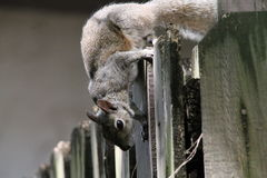 Mischievous squirrel on fence Stock Photos