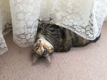 Mischievous Tabby Tortoiseshell Girl Cat. Likes to play with her nylon curtains stock image