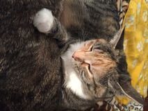 Mischievous Tabby Tortoiseshell Girl Cat. Resting on her brother as a pillow royalty free stock image