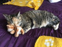 Mischievous Tabby Tortoiseshell Girl Cat. Sleeping on her bed Royalty Free Stock Images