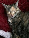 Mischievous Tabby Tortoiseshell Girl Cat. Sitting on her red fluffy blanket Stock Image