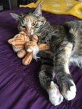 Mischievous Tabby Tortoiseshell Girl Cat. Sleeping on her bed royalty free stock photo