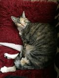Mischievous Tabby Tortoiseshell Girl Cat. Sleeping on her fluffy blanket royalty free stock photos