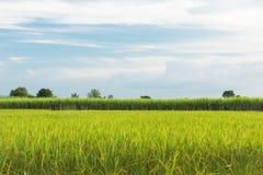 Mischlandwirtschafts-Reispaddy mit Zuckerrohr, Reis stockfotografie