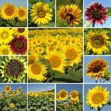 Mischung der Sonnenblumen Stockfotografie